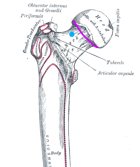 diagram of hip joint with target for needle for intraarticular injection and desired contrast spread