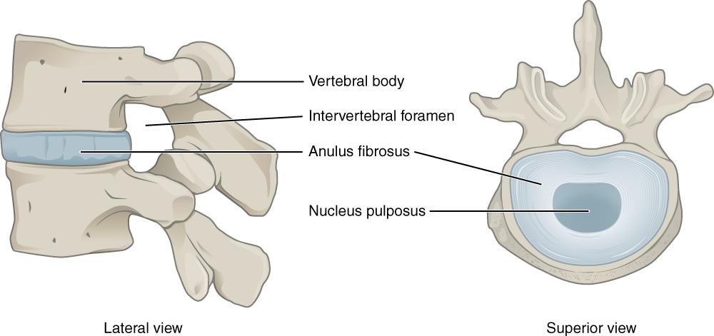 Intervertebral Disk Anatomy